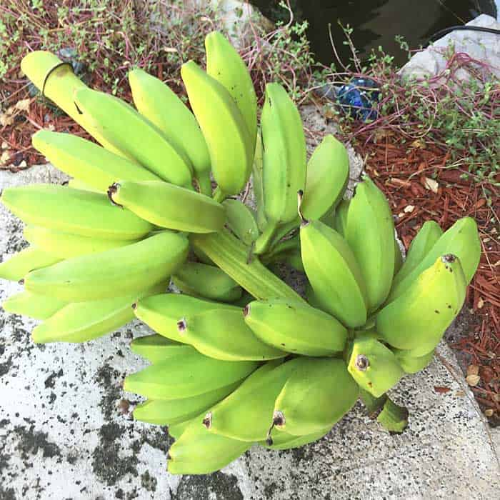 bunch of bananas cut down from my tree